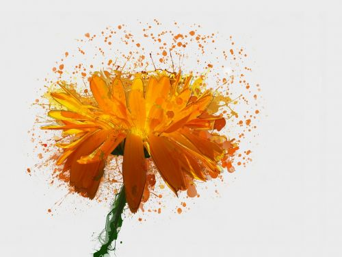 kalendra,oranžinė gėlė,gamta,žydėti,žiedadulkės,geltona,makro,vasaros gėlės,šviesus,dekoratyvinis,Iš arti,mielas