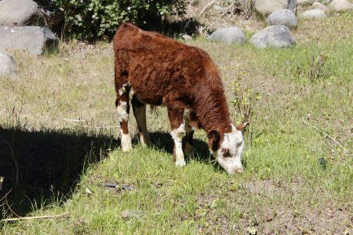 veršelis,karvė,ūkininkavimas,gyvūnas,ūkis,žinduolis,vidaus,lauke,ūkio gyvūnai,kaimas,gyvuliai,ranča,Naminiai gyvūnai,žemės ūkio paskirties žemė