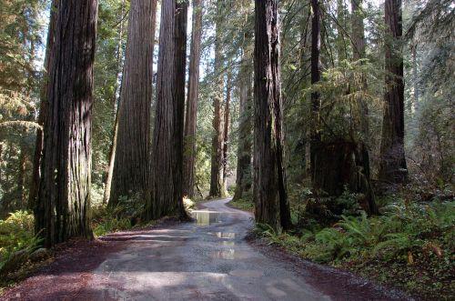 Kalifornijos raudonieji žuvys,raudonmedžio medžiai,medžiai,Redwoods,kelias,miškas,miškai,milžiniški medžiai,šlapias