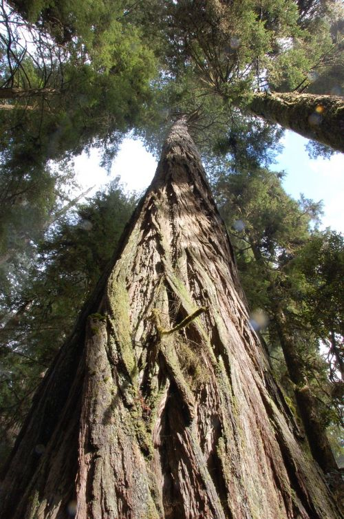 Kalifornijos raudonieji žuvys,raudonmedžio medžiai,medžiai,Redwoods,miškas,miškai,milžiniški medžiai,aukšti medžiai