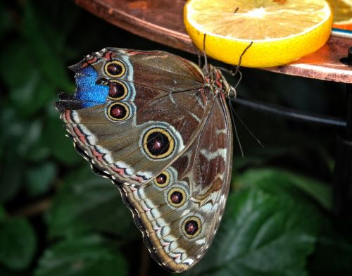 kaligotas,eurilochus,drugelis,brassolini,Mymfalid,morfinae,augalas,gamta,sodas,gyvūnai,lapai,makro