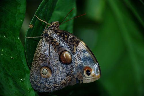 Caligo atreus dionysos,mėlynas,drugelis,klaida,vabzdys,vikšras,gamta