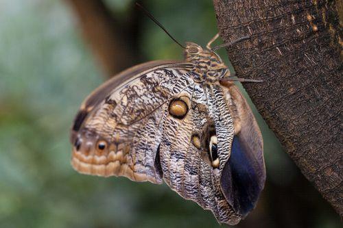 Caligo eurilochus,akys,drugelis,egzotiškas,tropikai,atogrąžų,skalė,sparno svarstyklės,ruda,ochra,juoda,balta,mėlynas,violetinė,vabzdys,sparnas,spalva,makro,struktūra,fonas,fondas,medis,gentis