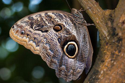 Caligo eurilochus,akys,drugelis,egzotiškas,tropikai,atogrąžų,skalė,sparno svarstyklės,ruda,ochra,juoda,balta,vabzdys,sparnas,spalva,makro,struktūra,fonas,fondas,medis,gentis,džiunglės