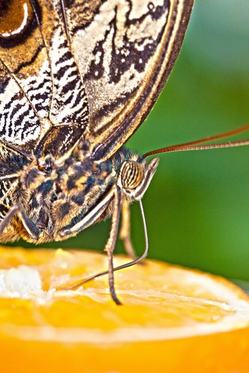 Caligo eurilochus,akys,drugelis,egzotiškas,tropikai,atogrąžų,skalė,sparno svarstyklės,ruda,ochra,juoda,balta,vabzdys,sparnas,spalva,makro,struktūra,fonas,fondas,maistas,nibble