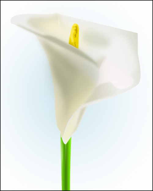 kala lilija,balta,gėlė,žydi,žiedas,gėlių,natiurmortas,abstraktus,žalia stiebas,zantedeschia aethiopica,arum lily,varkoor,kiaulės ausis,daugiametis,visžalis,lelijos,nemokama vektorinė grafika