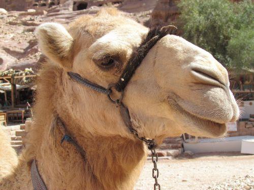 Kupranugaris, Dykuma, Wadi, Petra, Jordan