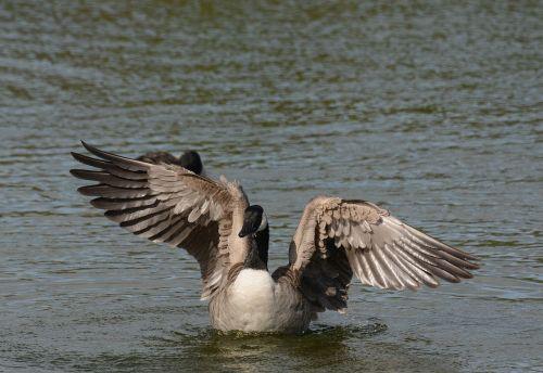 Kanada,žąsys,skalbimas,sparnai,ištempimas,vanduo,paukštis