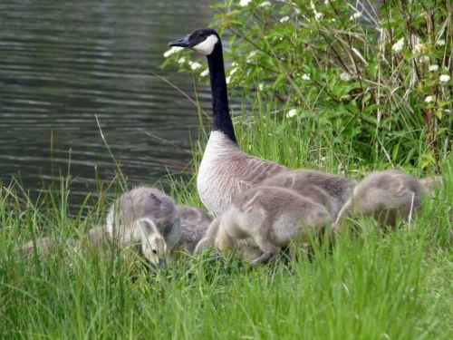 Kanados žąsis,viščiukai,jauni žąsys,gamta,laukinė gamta,gosling,kūdikis,gyvūnas,lauke,plunksnos,vanduo,kranto linija,gražus,kartu,šeima,paukščiai,mielas