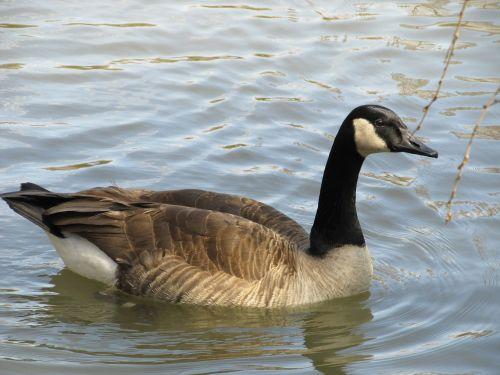 Kanados žąsis maudytis,žąsis,Kanados žąsis,Kanados žąsis,vandens paukščiai,maudytis,plunksna,žąsys,tvenkinys,paukštis,paukštis,plunksnos,ežeras,ornitologija