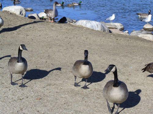 Kanados žąsys,migracija,tvenkinys