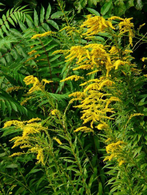 Kanados aukso auksas,aukso lazdele,krūmas,augalas,geltona,solidago canadensis,žydinčių augalų,asteroidas asteraceae,panicle branches,ant vynmedžio,dekoratyvinis augalas,bitės,stiprus augimas,aukso geltona,aukso geltonos gėlės,poslinkis,faerberpflanze