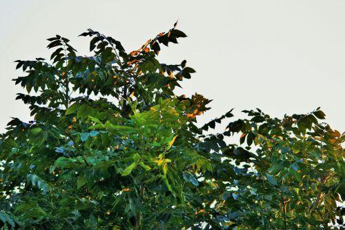 medis, viršūnė & nbsp, pelenai, lapija, saulės šviesa, apšviestas, viršūnių pelenų medis