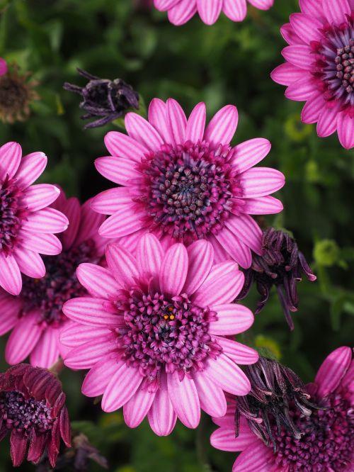 viršukalnės krepšys,žiedas,žydėti,gėlė,rožinis,osteospermas,pelėsių ramunės,paternoster krūmas,asteroidas asteraceae,kalnų daisy,bornholm marguerite,gėlė,farbenpracht,gėlės