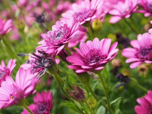 viršukalnės krepšys,žiedas,žydėti,gėlė,rožinis,osteospermas,pelėsių ramunės,paternoster krūmas,asteroidas asteraceae,kalnų daisy,bornholm marguerite,gėlė,farbenpracht,gėlės,patalynės augalas,sodo augalas,dekoratyvinis augalas