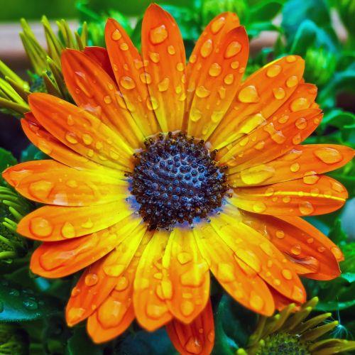 viršukalnės krepšys,gėlė,kompozitai,gėlės,pelėsių ramunės,gamta,violetinė,augalas,violetinė,makro,sodas,pavasaris,žydėti,Uždaryti,purpurinė gėlė,lapai,gražus,spalvinga,flora,lašas vandens,lašelinė,vanduo