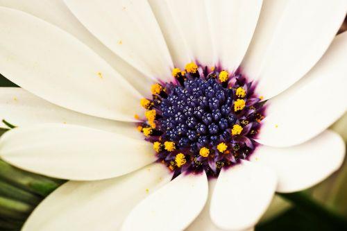 viršukalnės krepšys,gėlė,kompozitai,gėlės,pelėsių ramunės,gamta,balta,augalas,makro,sodas,pavasaris,žydėti,Uždaryti,baltas žiedas,lapai,gražus,spalvinga,flora,antspaudas,vasara,Gerbera,grožis,graži gėlė,žiedlapiai
