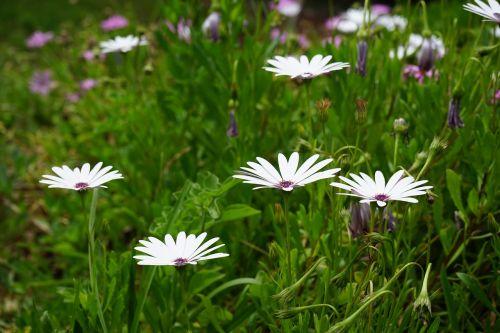 viršukalnės krepšys,gėlės,balta,osteospermas,pelėsių ramunės,paternoster krūmas,kompozitai,asteraceae