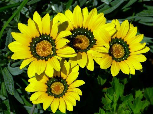 viršukalnės krepšys,osteospermas,pelėsių ramunės,paternoster krūmas,kompozitai,geltona,gėlė,žydėti,gėlės