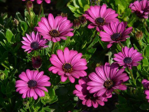 viršukalnės krepšys,osteospermas,pelėsių ramunės,paternoster krūmas,gėlės,augalas,vasara,violetinė,skintos gėlės,violetinė,spalvinga,spalva,Gerbera
