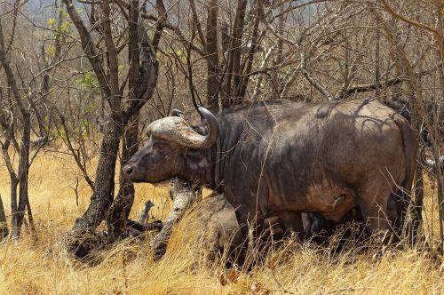 pelkių buivolai,savana,afrika,laukinė gamta,safari,gamta,galvijai,žolė,pietų Afrika,kanopas,grazer,bulius,bandas,ragai,išsaugojimas,kruger nacionalinis parkas,pietų Afrika