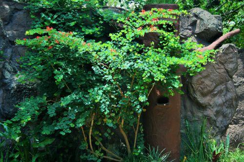 viršūnė & nbsp, pasididžiavimas, creeper, Bauhinia & nbsp, galpinii, gėlės, raudona, pelėnų pasididžiavimas, apimantis paukščių namus
