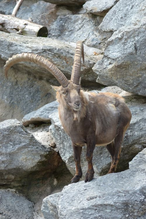 kazkas,ibex,Alpių,gyvūnas,kalnai,vasara,gamta,laukinis gyvūnas