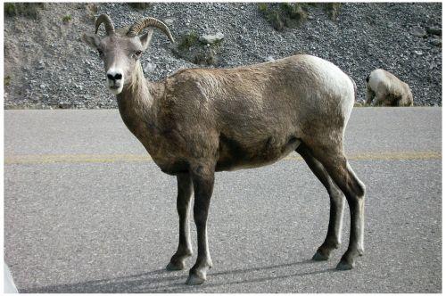 kazkas,jašio nacionalinis parkas,Vakarų Kanadoje,Kanada,gamta