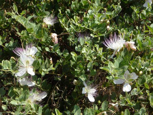 užfiksuoti,pagrobimas krūmas,Viduržemio jūros,pagrobimo krūmas,krūmas,augalas,žydėti,žiedas,žydėti,flora,laukinis augimas,laukinis augalas