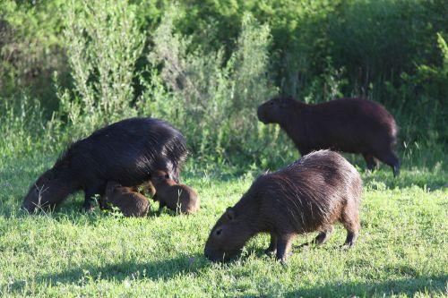 capybara,laukinis gyvenimas,argentininiai gyvūnai,gamta,Laukiniai gyvūnai,laukiniai,gyvūnas,gyvuliai,ganyklos,kraštovaizdis