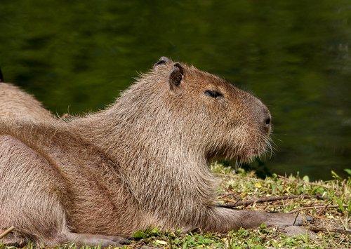 Kapibara, gyvūnas, žinduolis, graužikų, tvenkinys, Nager, Hagenbeck Zoo, zoologijos sodas