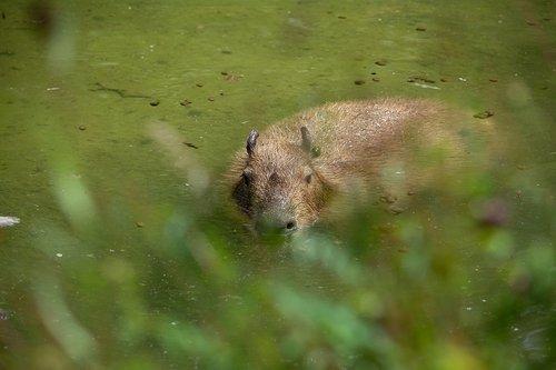 Kapibara, graužikų, gyvūnas, žinduolis, Nager, Gyvūnijos pasaulyje, pobūdį, vandens, žolėdžiai