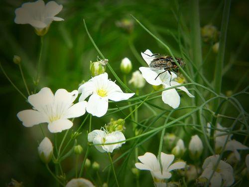 kardaminas,skristi,žydintis augalas,aštraus gėlė,gėlių pieva,smock,pieva,augalas