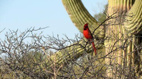 Kardinolas, Saguaro Kaktusas, Sonoran Dykuma, Tucson, Pietvakarius, Dykuma, Arizona