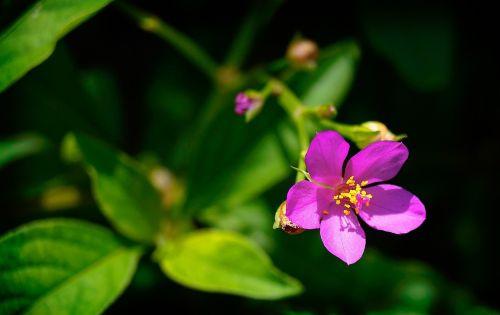 carirú gėlė,horta,talinum esculentum