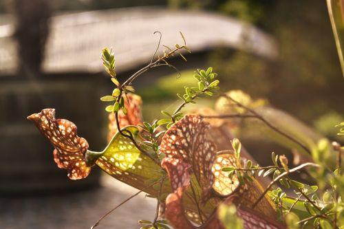 mėsėdis,skristi,mėsėdis,atvejis,vabzdys,fang,lankstus dėklas,mėsėdžiai,gėlė,augalas,protozoanai