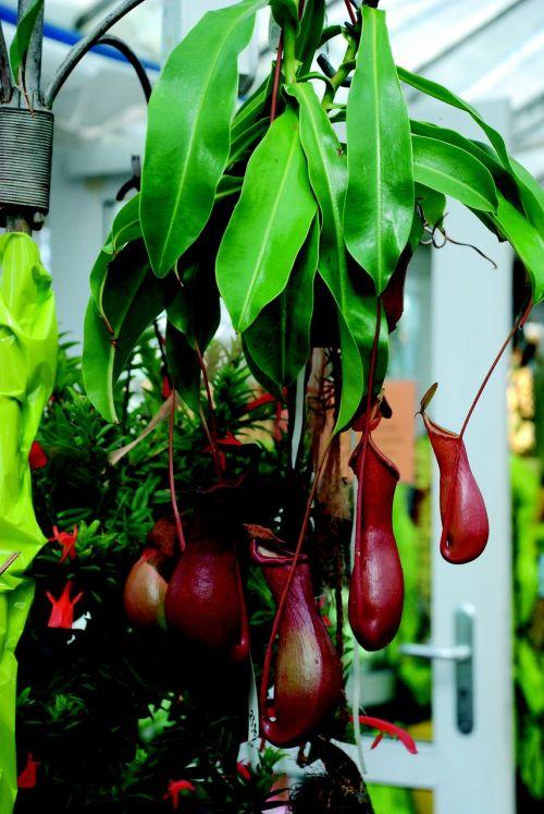 mėsėdis,augalas,mėsėdis,gamta,flora,tropikai,raudona,egzotiškas
