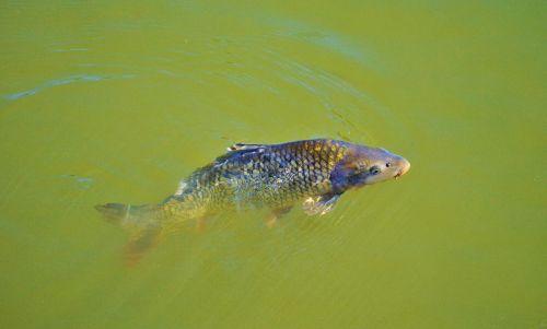 karpis,žuvis,pasirodys,plaukti,tvenkinys,vanduo,vandens paviršius,skalė,padaras,gamta,ežeras,gyvūnas