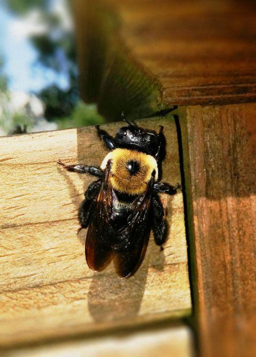 dailidės bičių,bičių,ksilokopas,ksilokopinae,didelis bičių,xylocopa virginica,rytinė dailidė,apdulkintojas,destruktyvus,vabzdys,klaida,apdulkinimas,sunaikinimas