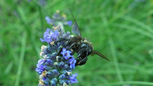 dailidės bičių,mėlyna juoda medinė bičių,vabzdys,bičių,levanda