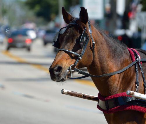 arklys, vežimas & nbsp, arklys, žinduolis, gyvūnas, darbinis & nbsp, arklys, lauke, grožis, istorinis, st & nbsp, augustine, florida, usa, turizmas, atostogos, turistinis, kelionė, vežimėlis arklys