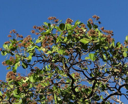 anakardžio medis,Sadhankeri,Indija,medis,ekologiškas,Žemdirbystė,lauke,aplinka,bagažinė,lapai,filialai,gamta