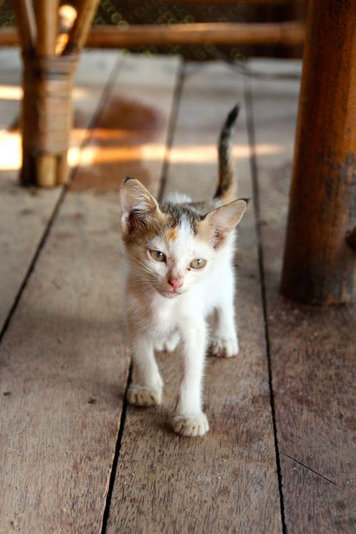 katė,mieze,augintiniai,naminis katinas