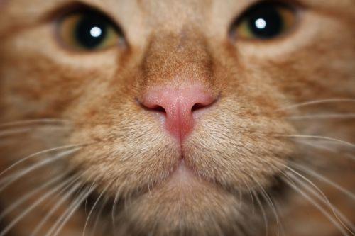 Nas, Katė, Augintiniai, Russet, Tomcat