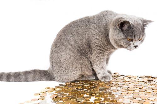 katė,graži katė,augintiniai,britų katė,katė ieško,housecat,Britanija,katė sėdi,gyvūnai,pilka,katė ir pinigai,finansai,pinigai
