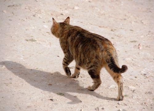 klajojantis,katė,Tomcat,naminis katinas,benamiai,kailis,Patinas