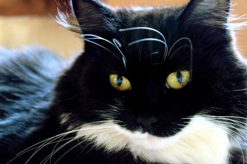 katė,gyvūnas,naminis gyvūnėlis,naminis katinas,juoda ir balta