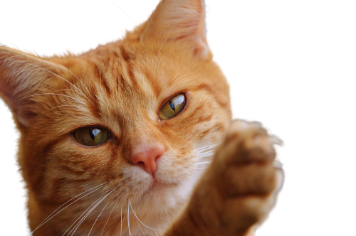 katė,izoliuotas,kačių,padengti,png,naminis gyvūnėlis,gyvūnas,gata,kačių veido,atrodo,ūsai,kačių nosis,kačių akys,kačių išvaizda,gyvūnai,fauna,geltonos akys,nedarbo lygis,skaidrus,plaukuotas,nagai,kačiukas,mielas
