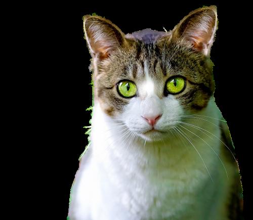 katė,izoliuotas,kačių,padengti,png,naminis gyvūnėlis,gyvūnas,gata,kačių veido,atrodo,ūsai,kačių nosis,kačių akys,kačių išvaizda,gyvūnai,fauna,žalios akys,nedarbo lygis,skaidrus,plaukuotas,nagai,kačiukas,mielas