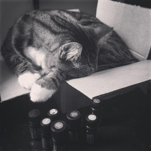 katė,dėžė,miega,gyvūnas,naminis gyvūnėlis,vidaus,kačių,kartonas,patalpose,eteriniai aliejai,juoda ir balta